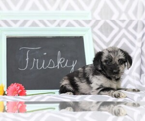 Cock-A-Poo-Pomsky Mix Puppy for sale in FREDERICKSBG, OH, USA