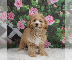 Pomeranian-Poodle (Toy) Mix Puppy for Sale in WARSAW, Indiana USA
