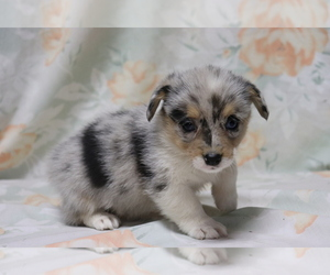 Pembroke Welsh Corgi Puppy for sale in SHILOH, OH, USA