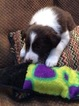 Border Collie Puppy For Sale in BUFORD, GA, USA