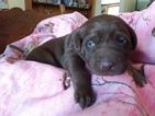 Labrador Retriever Puppy For Sale in REED CITY, MI, USA