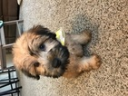 Soft Coated Wheaten Terrier Puppy For Sale in COLUMBUS, OH, USA