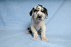 Great Dane Puppy For Sale in DUARTE, California,
