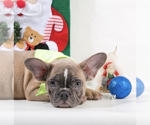 French Bulldog Dog for Adoption in CRANSTON, Rhode Island USA