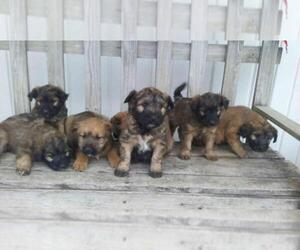Soft Coated Wheaten Terrier Puppy for sale in CHICAGO, IL, USA