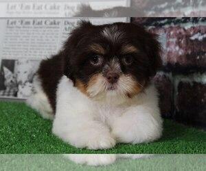 Cava-Tzu Puppy for sale in BEL AIR, MD, USA