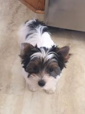 Biewer Terrier Puppy For Sale in MINNEAPOLIS, MN