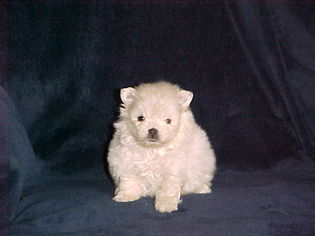 Pomeranian Puppy For Sale in APPLE VALLEY, CA