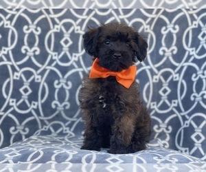 Poodle (Miniature)-Shorkie Tzu Mix Puppy for sale in LAKELAND, FL, USA