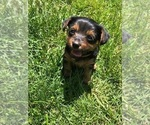 Small #9 Silkshire Terrier-Yorkshire Terrier Mix