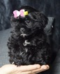 Adorable Shorkie Baby Ready to go