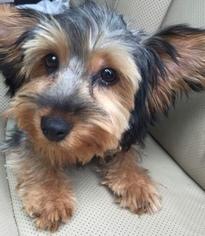 Yorkshire Terrier Puppy For Sale in WILMINGTON, DE, USA