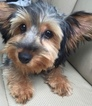 Yorkshire Terrier Puppy For Sale in WILMINGTON, DE,