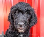 Puppy 7 Goldendoodle-Irish Doodle Mix