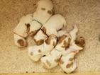 Brittany Puppy For Sale in PARKER, CO, USA