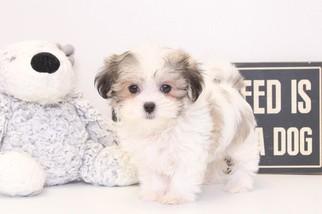 31eef98d417 View Ad  Zuchon Puppy for Sale near Florida
