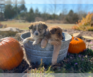 Border-Aussie Puppy for sale in WOODLEAF, NC, USA