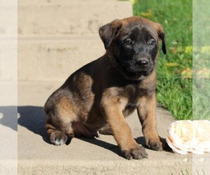 Belgian Malinois Puppy for sale in FREDERICKSBRG, PA, USA