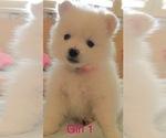 Puppy 4 Pomeranian