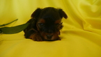 Yorkshire Terrier Puppy For Sale in KENSINGTON, OH, USA