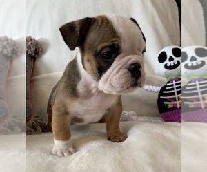 English Bulldog Dog for Adoption in JOHNS ISLAND, South Carolina USA
