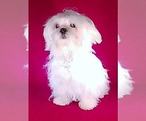 Maltese Dog for Adoption in WINSTON SALEM, North Carolina USA