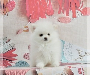 Pomeranian-Pomsky Mix Puppy for Sale in WARSAW, Indiana USA