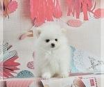 Puppy 1 Pomeranian-Pomsky Mix