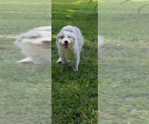 Australian Shepherd Puppy for sale in BROOKSVILLE, FL, USA