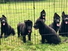 German Shepherd Dog Puppy For Sale in WILLOUGHBY, Ohio,
