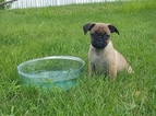 Puggle Puppy For Sale in MACUNGIE, PA, USA
