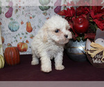 Small #22 Poodle (Toy)
