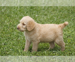 Labradoodle Puppy for Sale in MEMPHIS, Missouri USA
