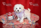 Maltese-Poodle (Toy) Mix Puppy For Sale in SANGER, TX, USA