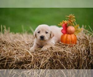Labrador Retriever Puppy for sale in MAYSVILLE, GA, USA