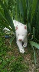 Siberian Husky Puppy For Sale in WORTHINGTON, PA