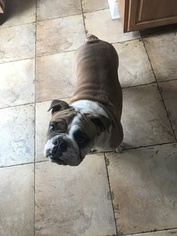 Bulldog Puppy For Sale in WEST ORANGE, NJ