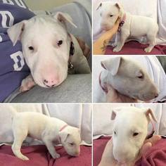 Bull Terrier Puppy For Sale in VIRGINIA BCH, VA, USA