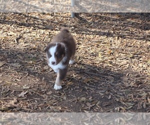 Australian Shepherd Puppy for Sale in MERIDIANVILLE, Alabama USA