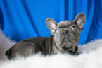 French Bulldog Puppy For Sale in KENT, OH, USA