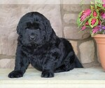 AKC Newfoundland For Sale Dalton OH Male