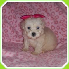 Maltipoo Puppy For Sale in TAYLOR, TX