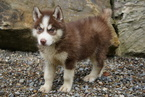 Siberian Husky Puppy For Sale in FREDERICKSBG, Ohio,