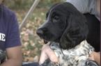 Russian Spaniel Puppy For Sale in SACRAMENTO, CA, USA