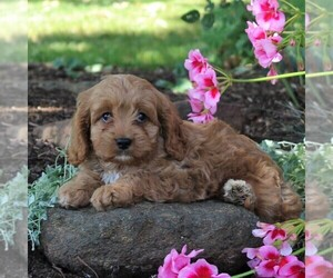 Cavapoo Puppy for sale in HONEY BROOK, PA, USA