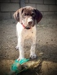 German Shorthaired Pointer Puppy For Sale near 92880, Corona, CA, USA