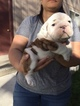 Bulldog Puppy For Sale in SPARKS, NV, USA