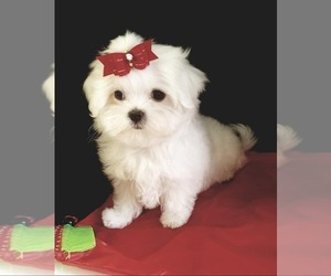 Maltese Puppy for sale in MERCER, PA, USA