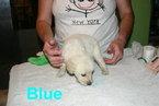 Akc Golden Retriever Puppies Male