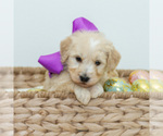 Puppy 12 Goldendoodle